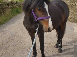 Gorgeous Bay Mare For Sale