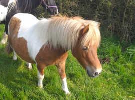 Reg shetland mare