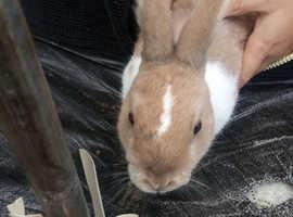 Mini Rex plus never land dewarf includes rabbit cage