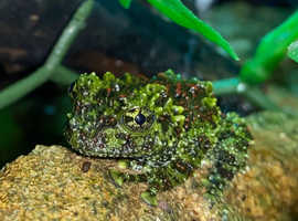 Mossy Frog Froglets