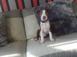 Wanted Staffordshire bull terrier or English bull terrier in