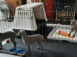 Kc registered blue italian greyhound puppies 9 weeks old they are so cute