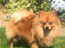 Pomeranian Puppy in Enfield | Dogs & Puppies For Sale