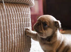PUG puppies exceptional