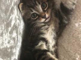 Tabby male kittens