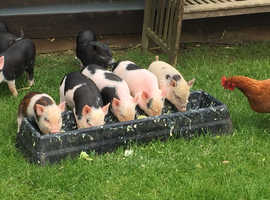 Sml Bred Pet Kune X Piglets, 3F, 2 Castrated M, Anglesey
