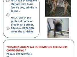 Missing staffie puppy