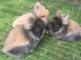 Cute and friendly baby rabbits for sale