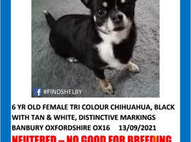Missing Female Chihuahua 6 years old