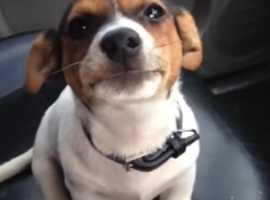 any breed dog wanted *jack russel preferred* any gender