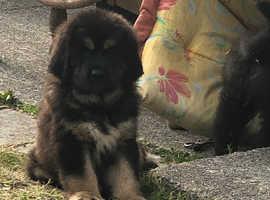 Pure Breed Tibetan mastiff puppies kc registered