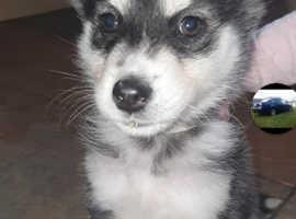 Full breed husky pups, ready 10th Nov, 1 girl 4boys