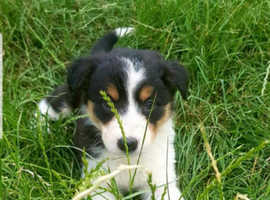 BORDER COLLIE X HUNTAWAY PUPPIES FOR SALE
