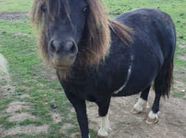 DNA tested American miniature mare