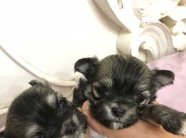 Maltchi maltese x chihuahua longhair fluffy puppies puppy small dog gorgeous fluffy teddy