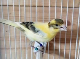 Three Canaries for Rehoming