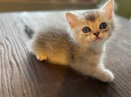 Mini size short legs munchkin kittens