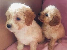Cavapoo pups