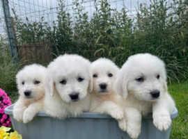 Maremma sheepdogs puppys