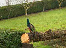 Peafowl Rehoming