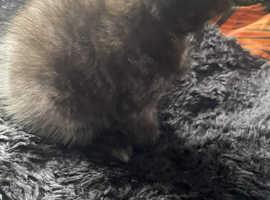 British short hair x smoke/black kitten READY