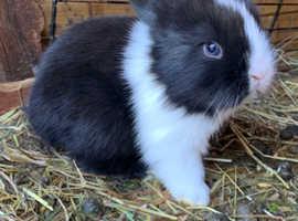 Male baby bunny