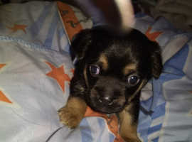 ONLY 1 PUPPY LEFT !!!!!!!11wk oldGorgeous chuggle puppies