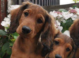 KC registered standard longhaired dachshund puppies