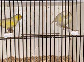 Yellow diamophic mosaic canary