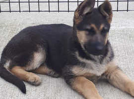 GERMAN SHEPHERD PUPS 1 Male & 1 Female available