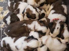 Beautiful Champion Saint Bernard Puppies!