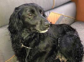 Beautiful bocker pup for sale