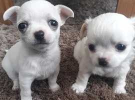 Two Chihuahua Puppies for sale Both Female