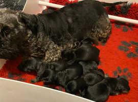 Rare breed cesky terrier champion pedigree puppies