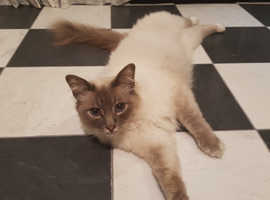 Very Affectionate Birman - Two Years Old Male Birman for Sale