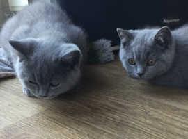 Blue British Shorthair Kittens ready now