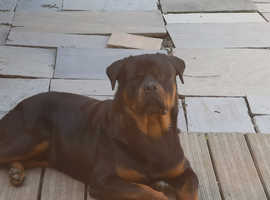 KC Registered Rottweiler for Stud
