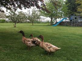 2 female Khaki Campbell ducks