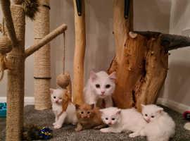 Stunning Turkish Angora kittens for sale.
