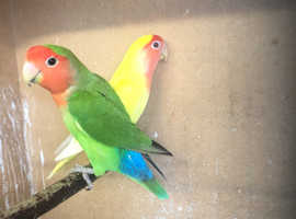 Breeding Pair Lovebirds