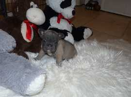 Beautiful French Bulldog Puppies ( KC Registered )