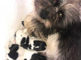 Shihzu X toy poodle