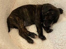 Staffordshire Bull Terrier Pup For Sale - Ready now - £400