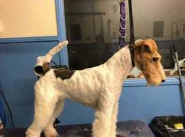 Excellent champion bloodline pedigree Wire Fox Terrier Puppies