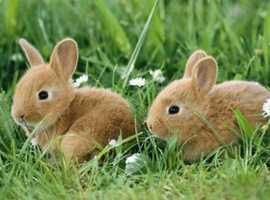 Wanted - 2 BABY RABBITS OF ANY BREED, AGE 8-10 WEEKS, MALE OR FEMALE