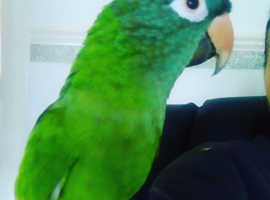 Blue crowned conure male
