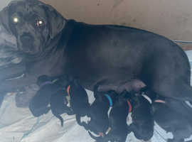 STRANJANO BLOODLINE BEAUTIFUL CORSO PUPS