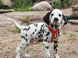 Looking for Dalmatian puppy