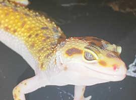 Male leopard gecko baby #3