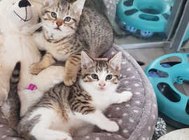 Gorgeous Spotted Marbled Stripy Tabby Kittens